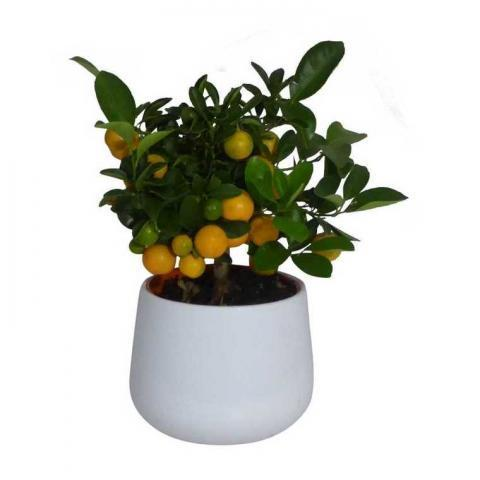 Calamondin Fruits – Pot de 2L : Agrumes  potager - botanic®